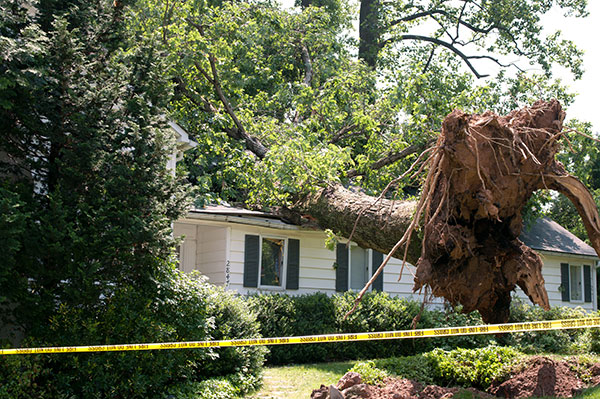 Huge tree needs to be removed after storm